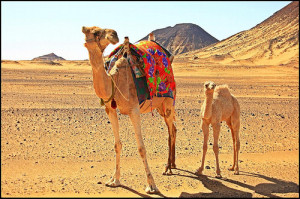Camels on caravan in a desert setting
